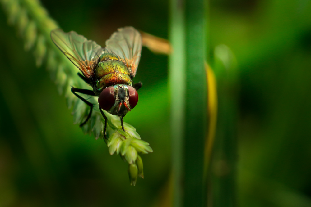 common-insect-photo-house-fly-photomentor