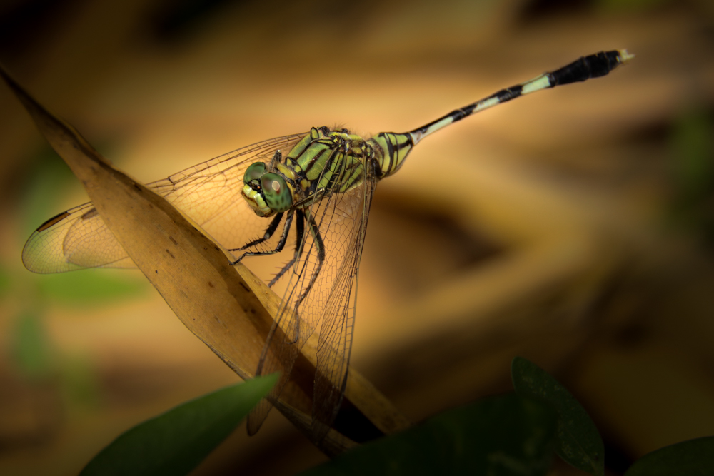 common-insects-photos-green-marsh-hawk-photomentor