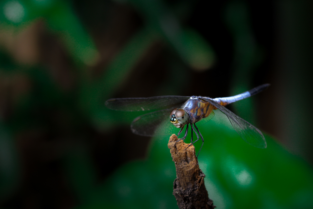insect-photography-dragonfly-photomentor