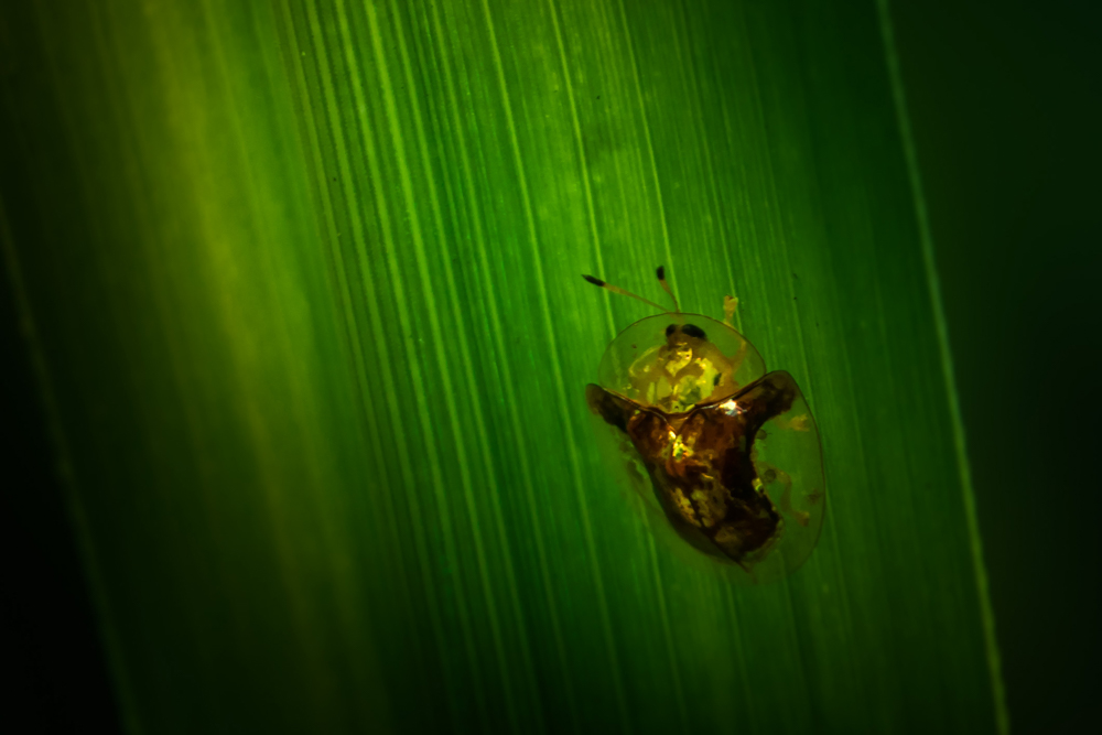 insect-photos-golden-tortoise-beetle-photomentor
