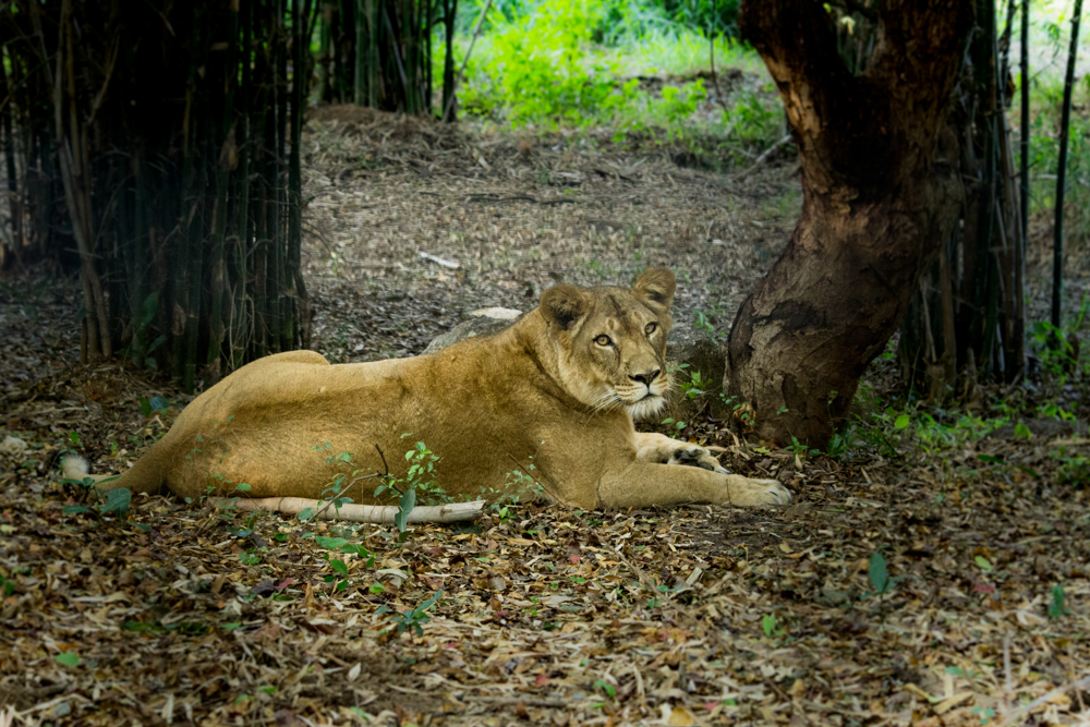 lion-images-hd-photomentor