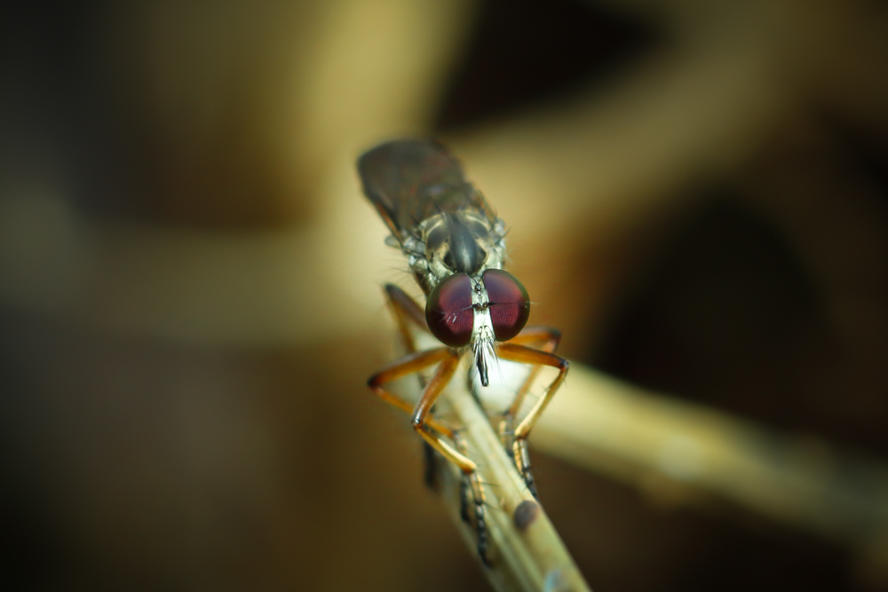 wild-insects-images-rhinid-blowfly-photomentor