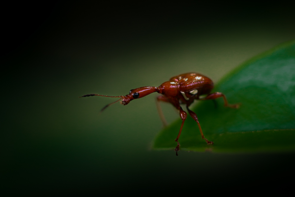wild-insects-photos-giraffe-weevil