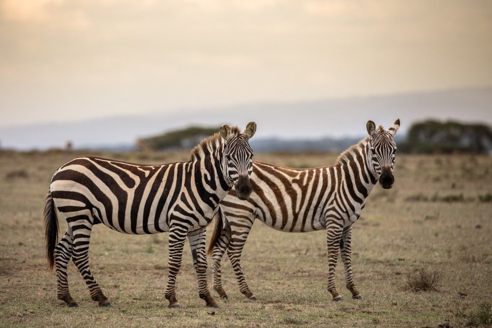 unique-kenya-zebra-photography-bhanu